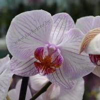 Орхидея с прожилками