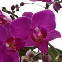 Фото Мини орхидеи
