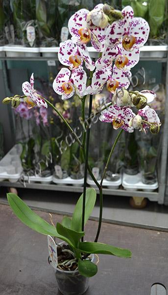 Горшечная орхидея с лепестками белого цвета и фиолетовыми пятнышками