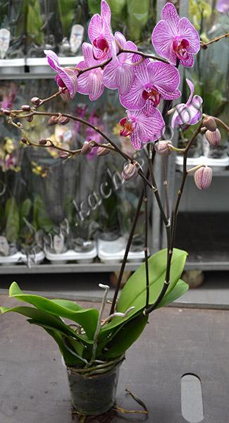 Орхидея с прожилками в горшке