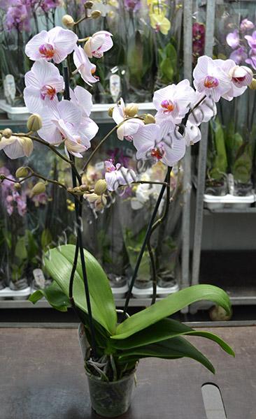 Белая орхидея с прожилками в горшке.