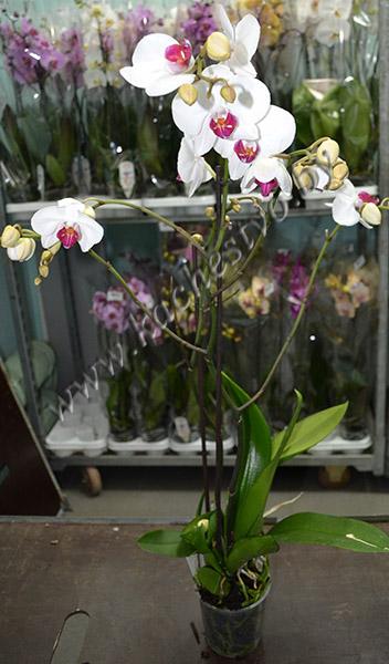 Фаленопсис белый в горшке