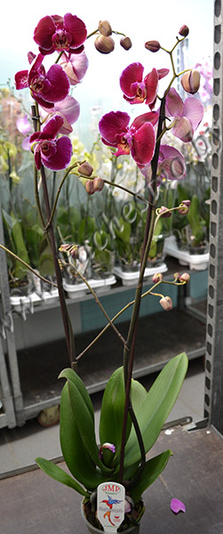 Бордовая орхидея фаленопсис в горшке