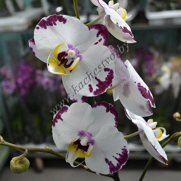 Орхидея далматинец - белая с фиолетовыми пятнышками.