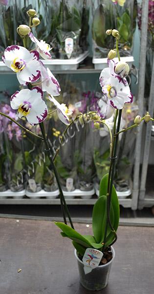 Орхидея далматинец - белая с фиолетовыми пятнами