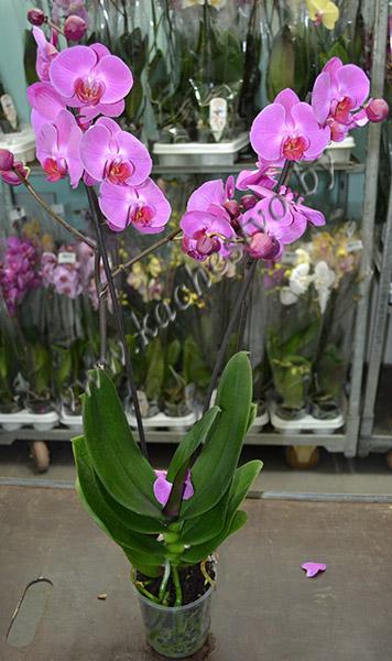 Фиолетовая орхидея в горшке.