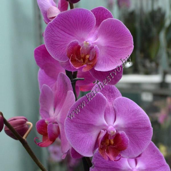 Орхидея фиолетового цвета