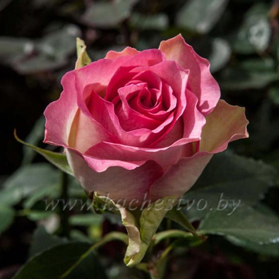 Нежно розовая роза сорта Малибу