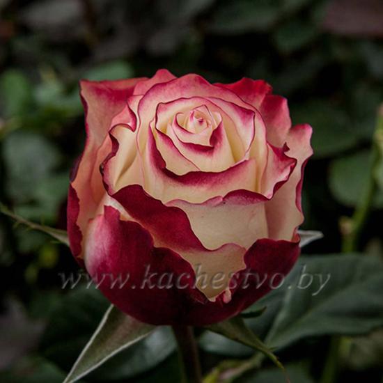 Красно-белая роза сорта Sweetness