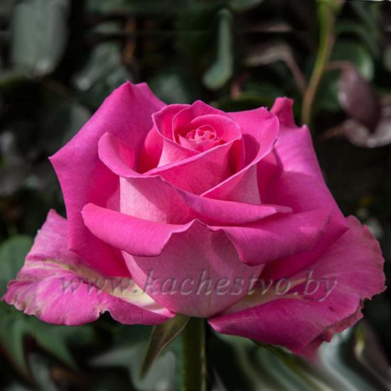Розовые розы сорта Topaz