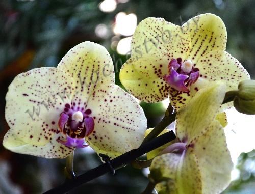Желтая орхидея с фиолетовыми точками
