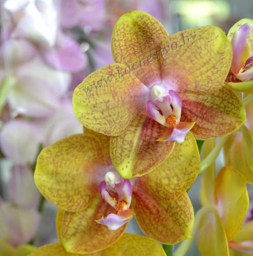 Желтая орхидея с красными вкраплениями
