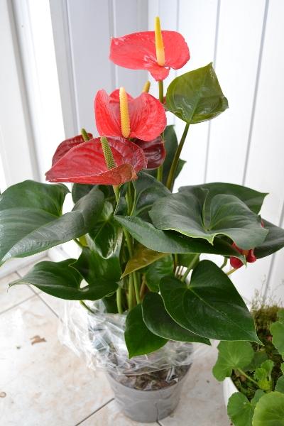 Антуриум (Anthurium) красный