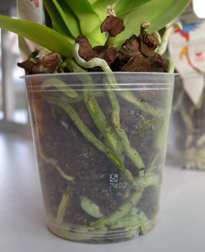 Поливать орхидею рано корни зеленые и мясистые