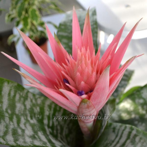 Цветок Эхмеи Фасцината (Aechmea Fasciata)