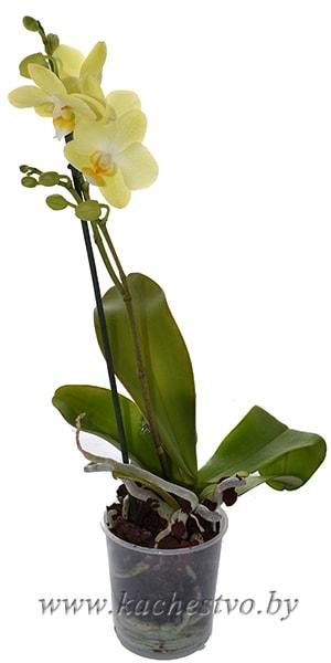Мини Орхидея Желтая