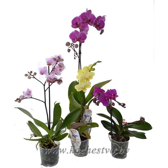 Купить орхидею в минске недорого