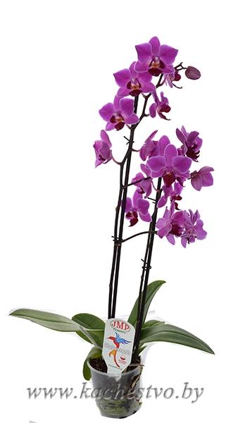 Мини орхидея фаленопсис