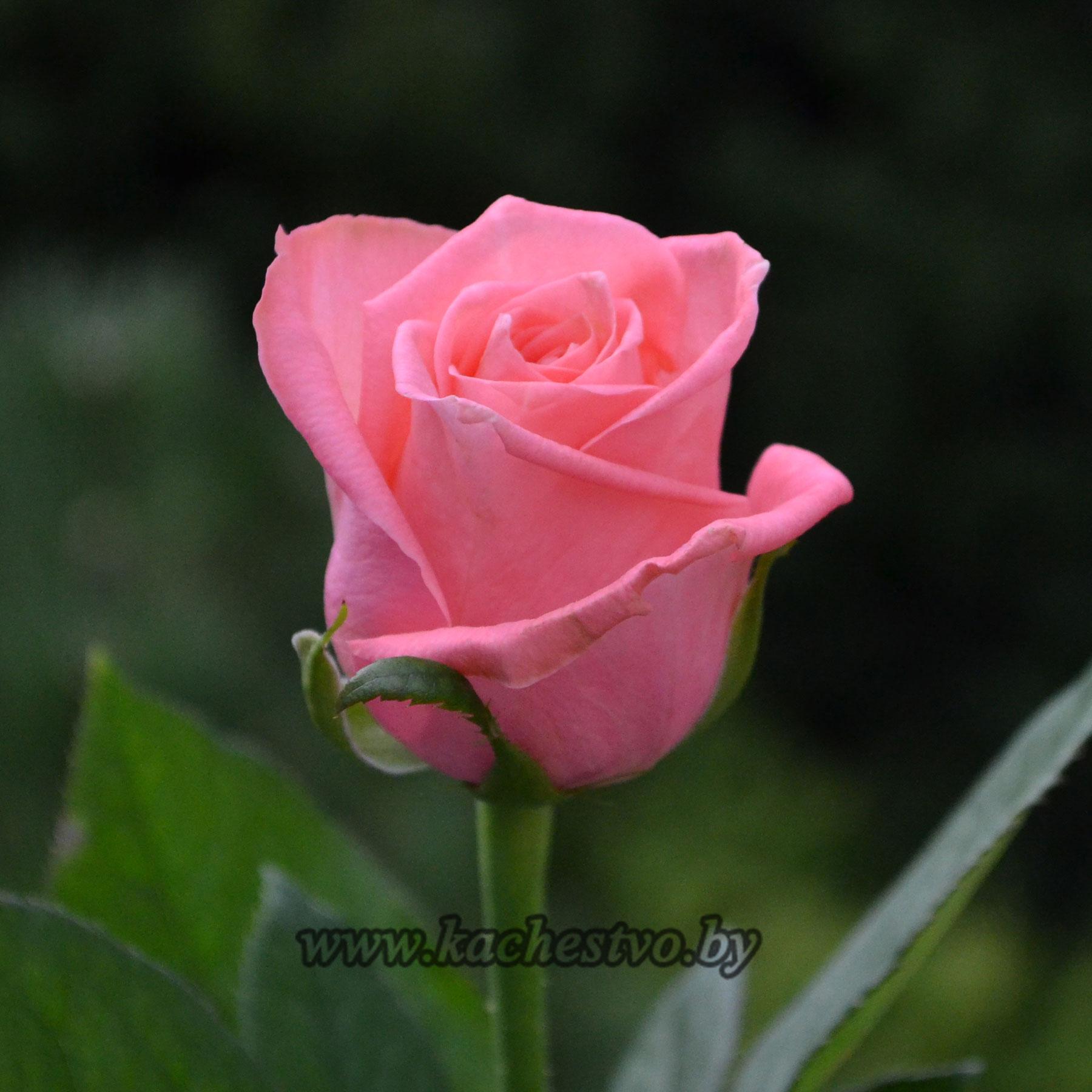 Белорусские розовые розы