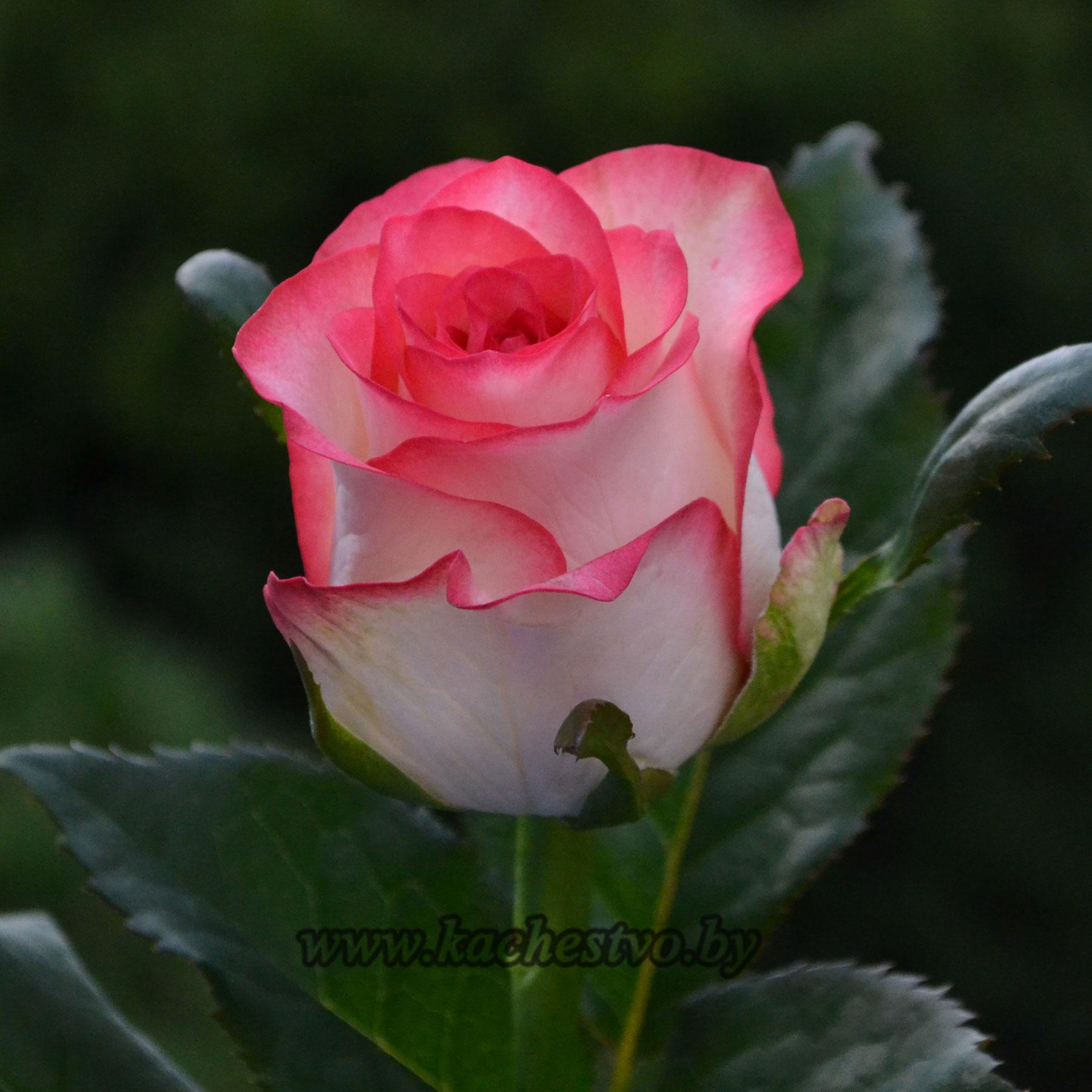 Белорусские розы cорта Jumilia