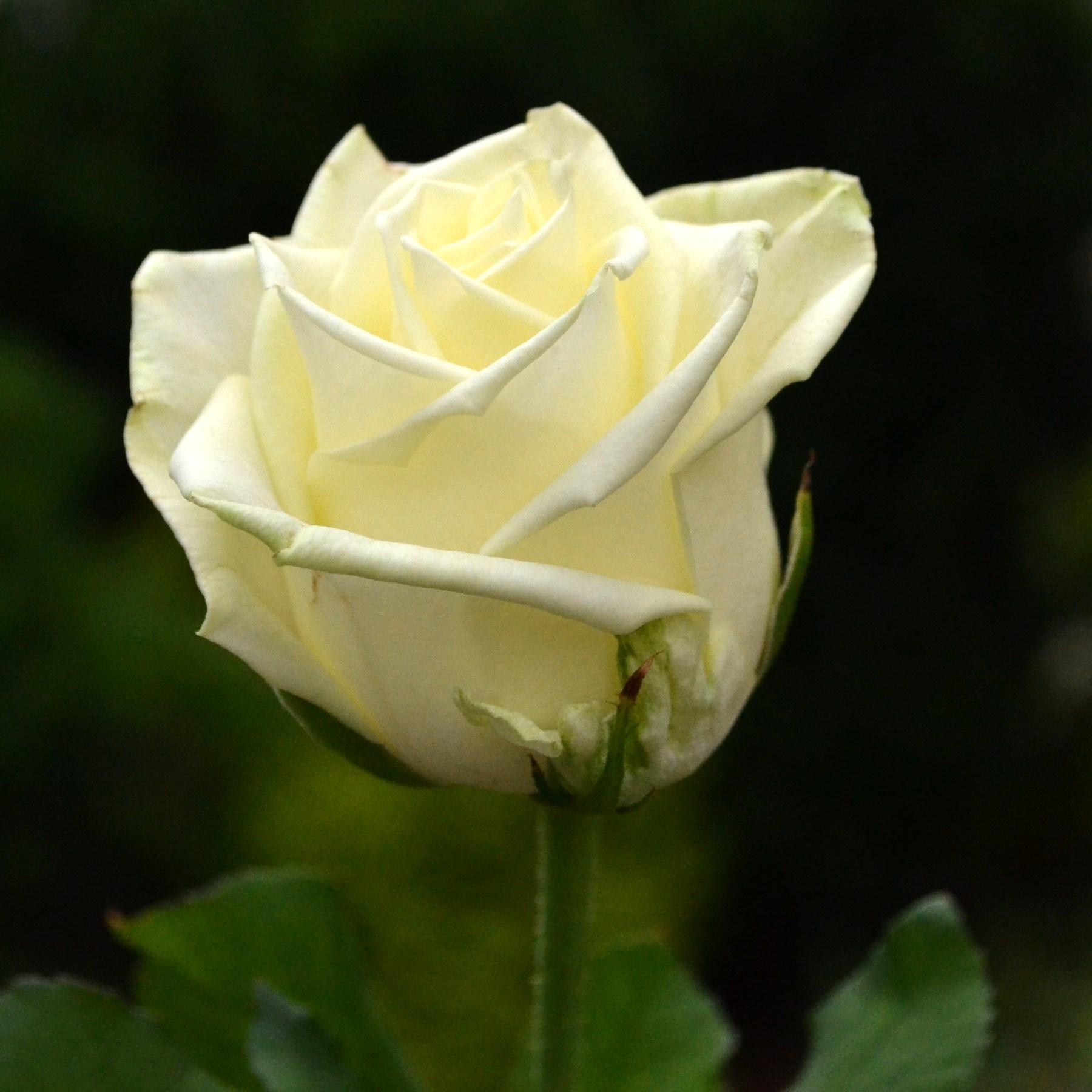 Белорусские белые розы