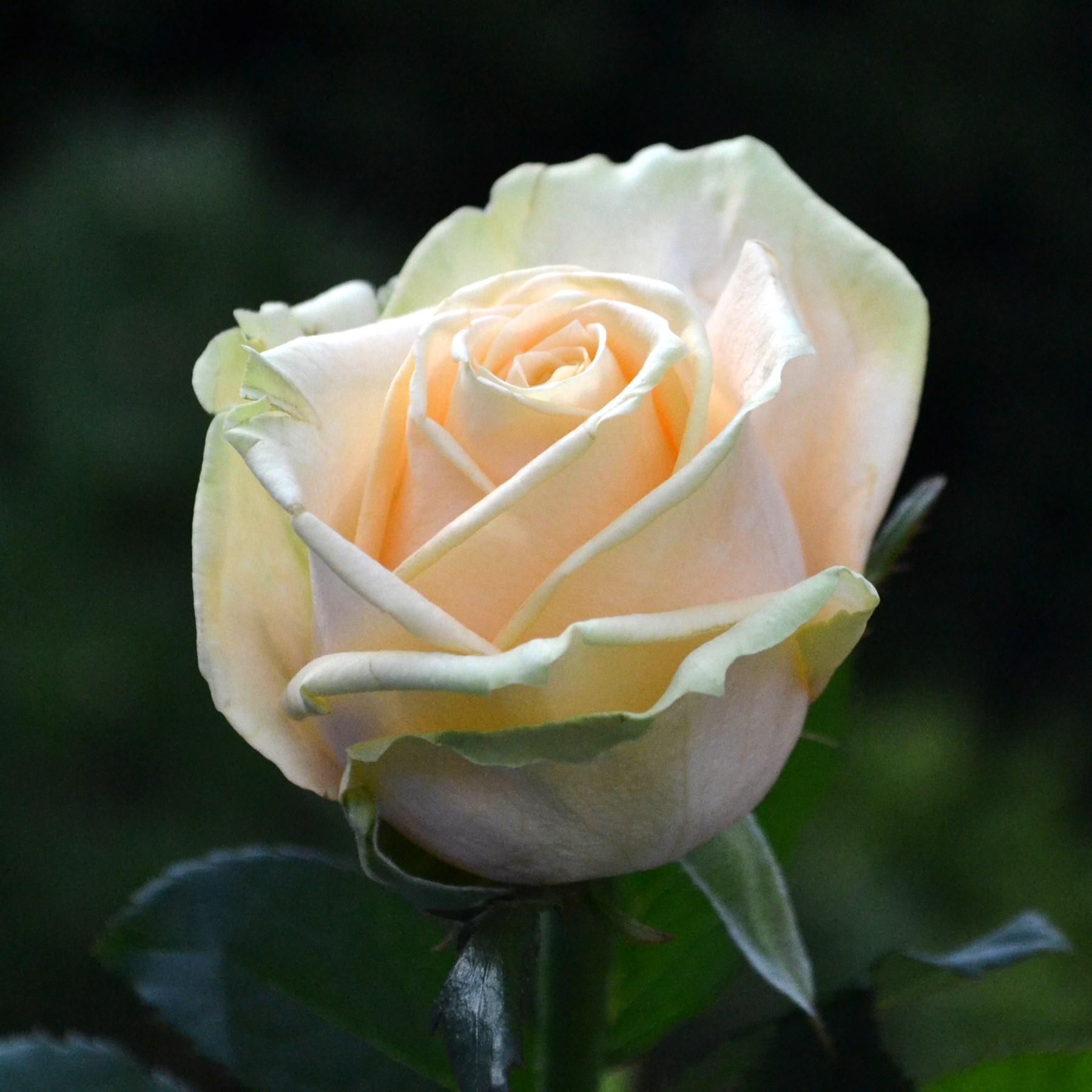 Белорусские кремовые розы